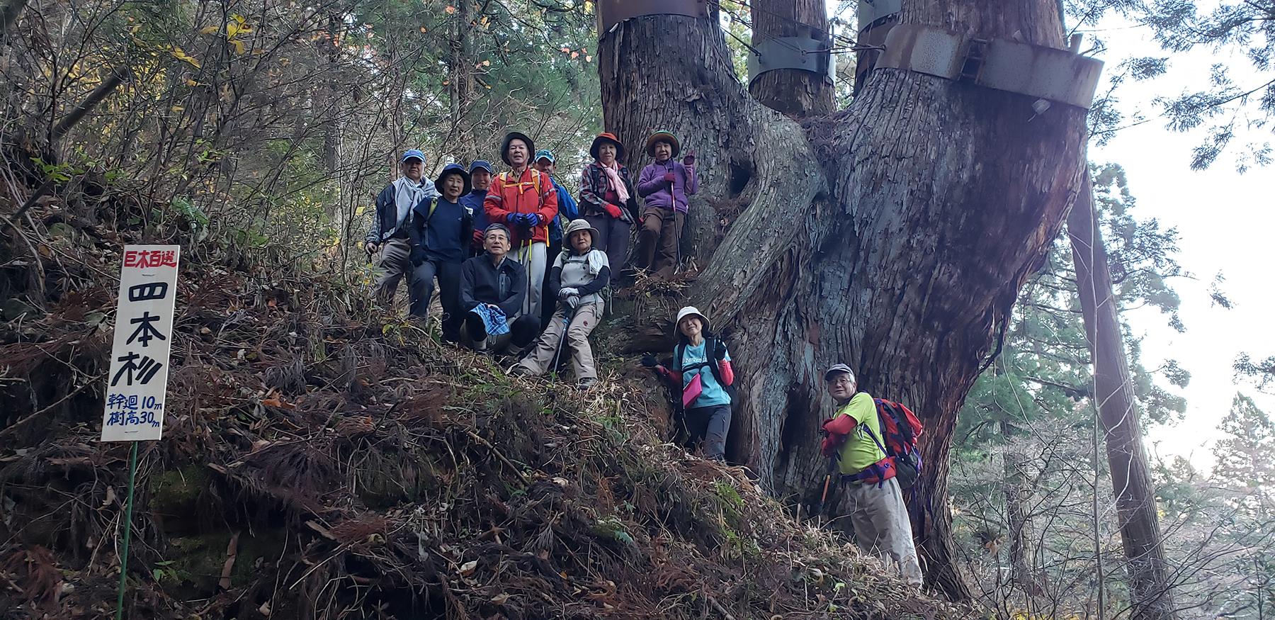 "A giant Japanese cedar ""Shihon Sugi"""