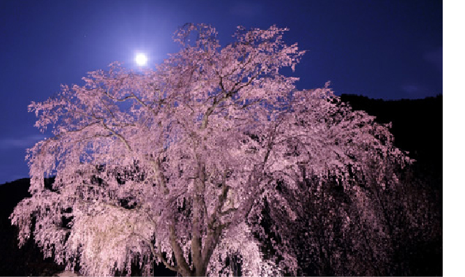 Takeshita Weeping Cherry Tree